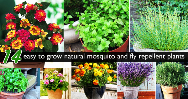 No more malaria Lets bring 14 easy to grow plants to repel – Mosquito Repellent Plants for Your Garden