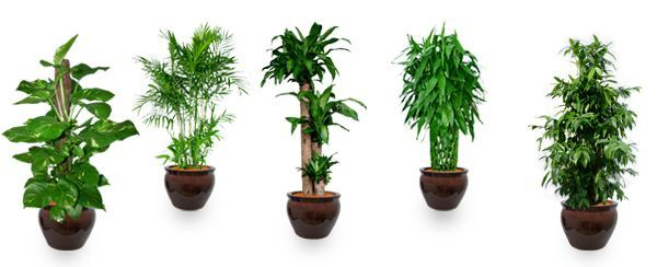 Feng shui says this plant at right place is key to - Good luck plants feng shui ...