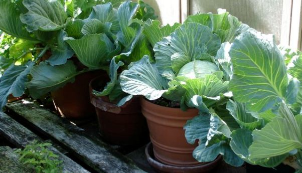 6 best veggies to grow in pots - page 5 of 7 - the tall gard.