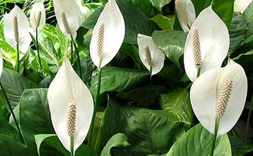 How To Bring Good Luck these plants bring luck, wealth, prosperity and health to home