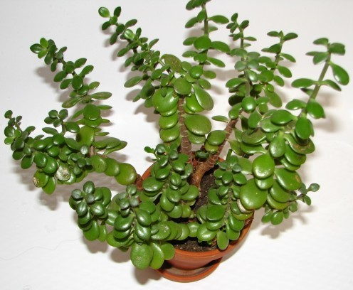 These Plants Bring Luck Wealth Prosperity And Health To Home Top