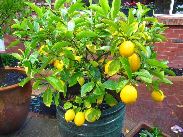 grow your favorite fruit in pot at home. these are top, Beautiful flower