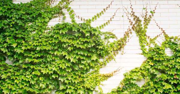 Do u like green, refreshing & creative walls ? Here are 12 creeper plants to help - Top 10 ...