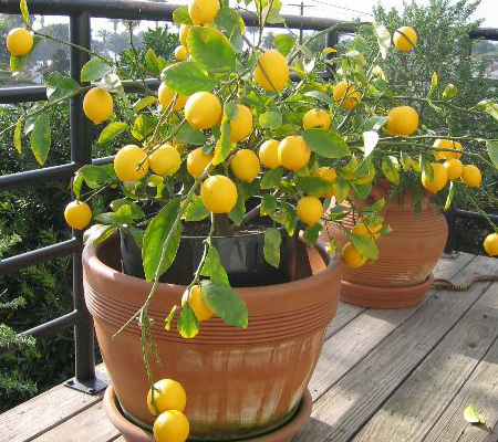 want to grow this lemon plant in pot plant talk nurserylive