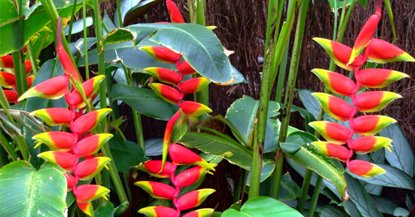 Select Heliconias One Of The Most Beautiful Amp Vibrant