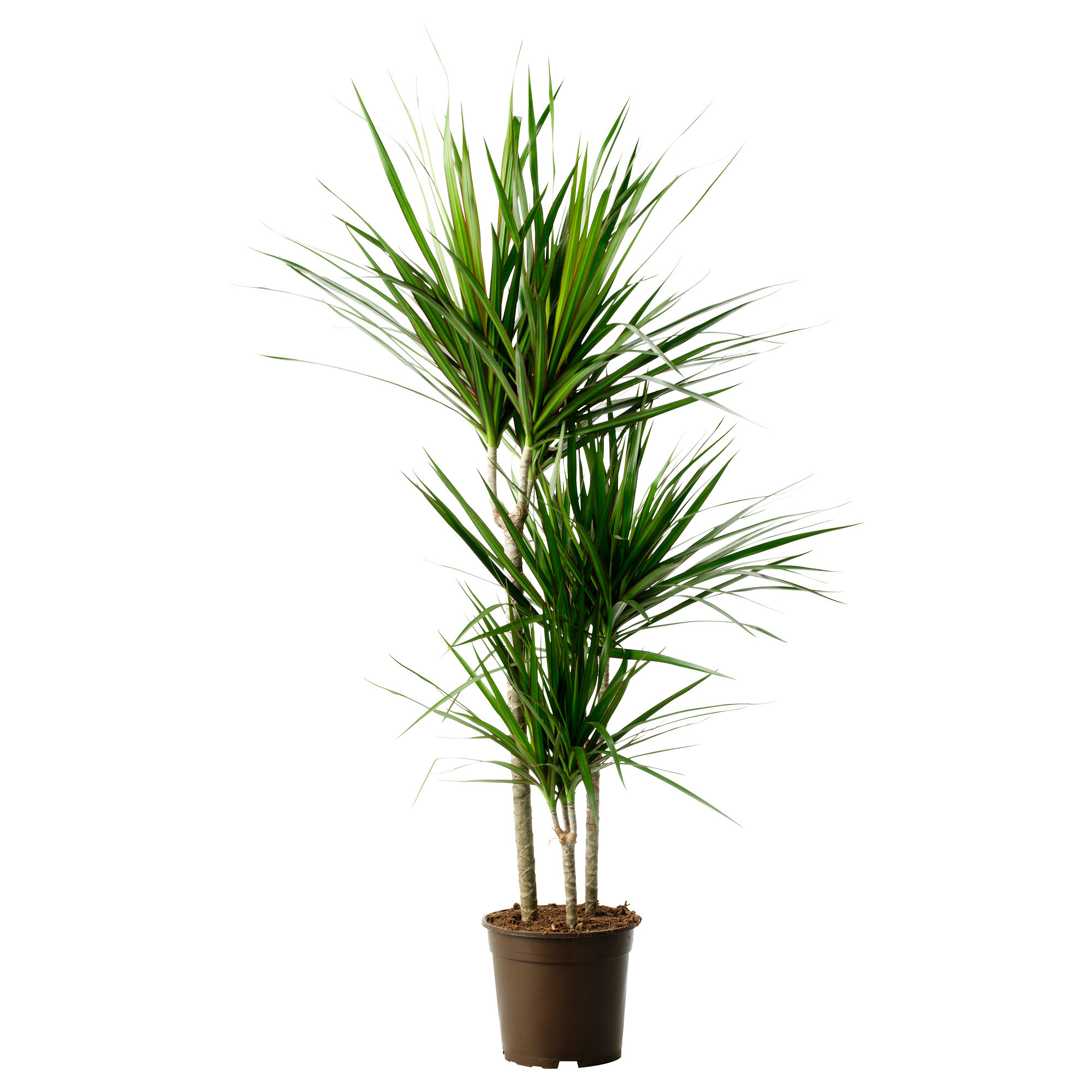View Details   Buy Dracaena Marginata   Buy Plants for Bedroom   Browse  plants by Location. Top 6 plants for Bedrooms to help you sleep better   Top 10 Plants