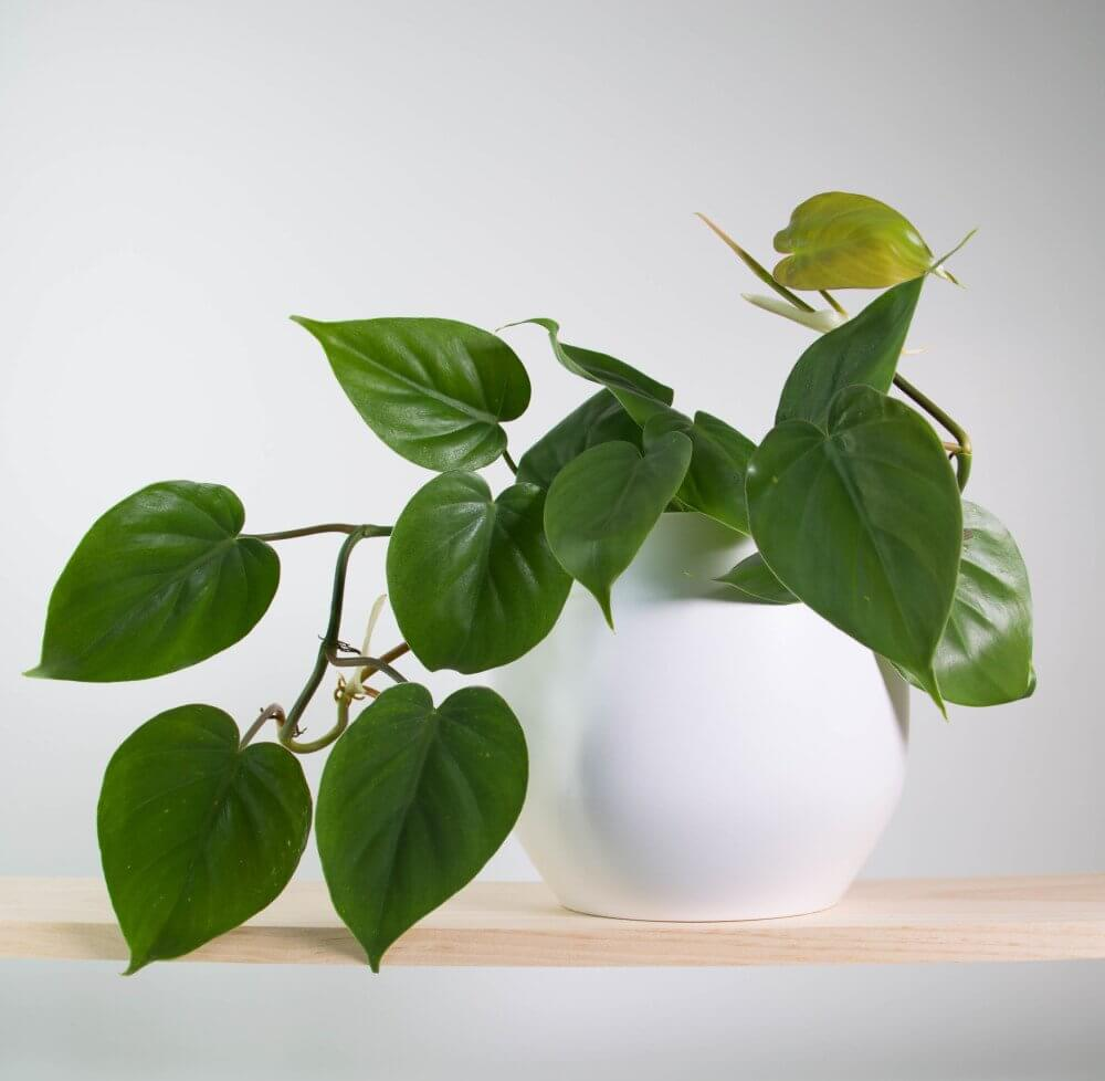 17-air-purifying-plants-heartleaf-phelodendron-plant