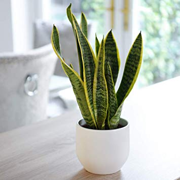 17-air-purifying-plants-snake-plant