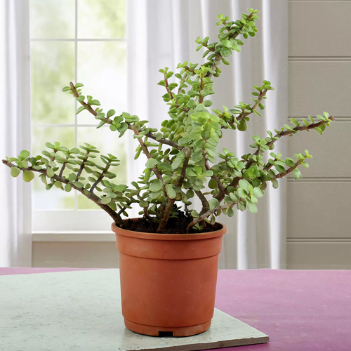 plants-for-gift-jade-plant