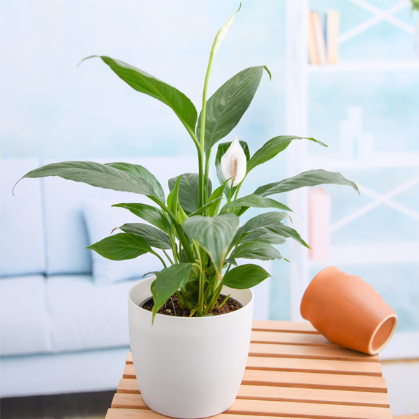 nurserylive-peace-lily-spathiphyllum-small4