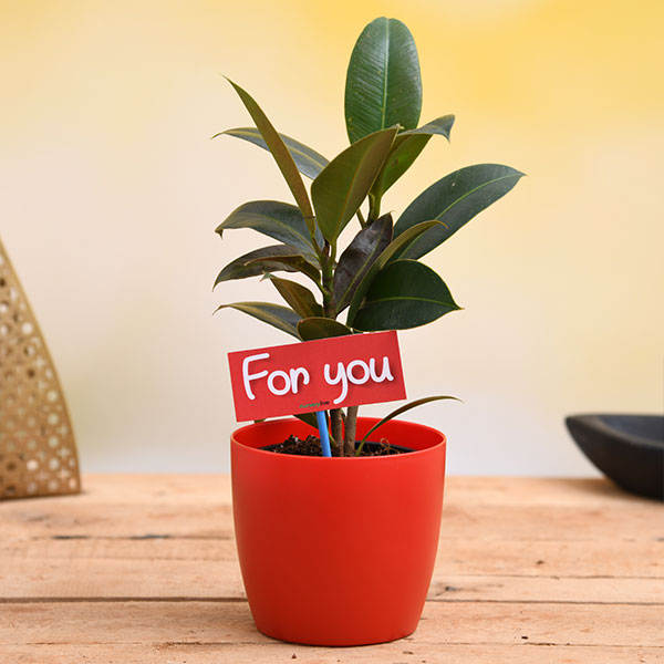 nurserylive-air-purifying-rubber-plant-for-you-gift-plant3