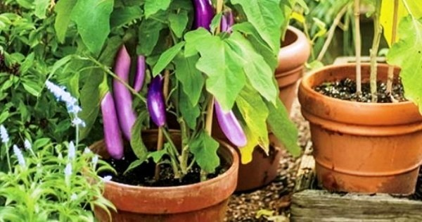 Container Gardening   Top 20 easy vegetables to grow at home. Mini guide to grow top 20 easy organic vegetables in pot    Top 10