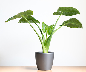 17-air-purifying-plants-elefant%20ear-%20philodendron