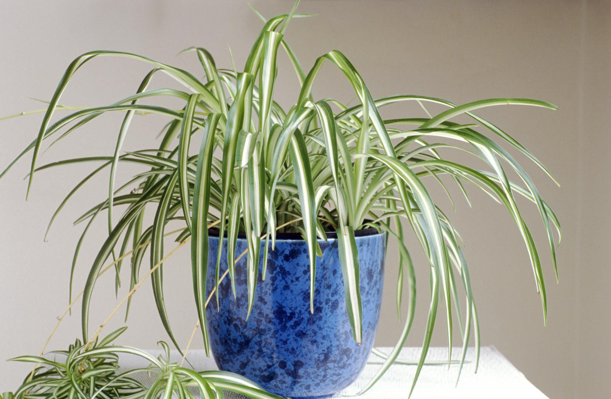 17-air-purifying-plants-spider-plant