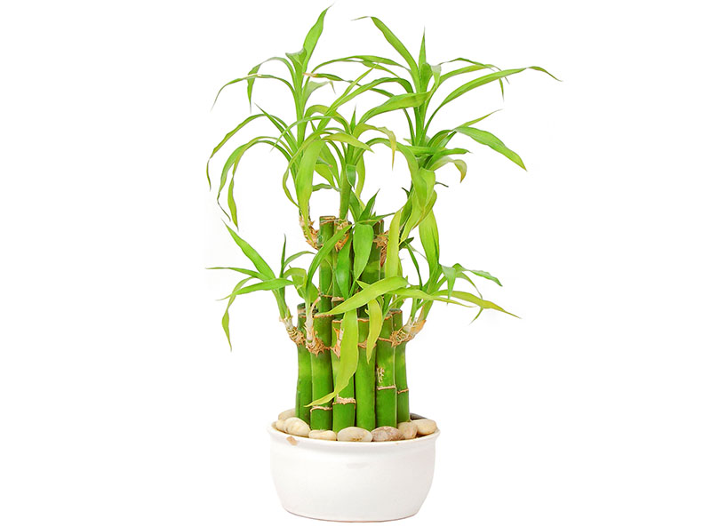 plants-for-gift-lucky-bamboo