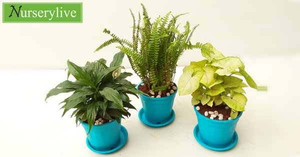 nurserylive-best3-indoor-pollution-killer-plants-pack