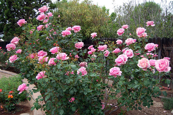 10 Intensely Fragrant Roses To Plant In