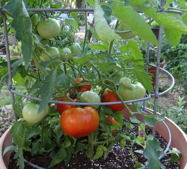 fruits and vegetables nutrients is the tomato a fruit or a vegetable