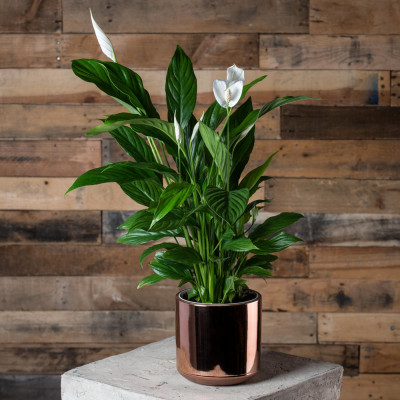 17-air-purifying-plants-peace-lily