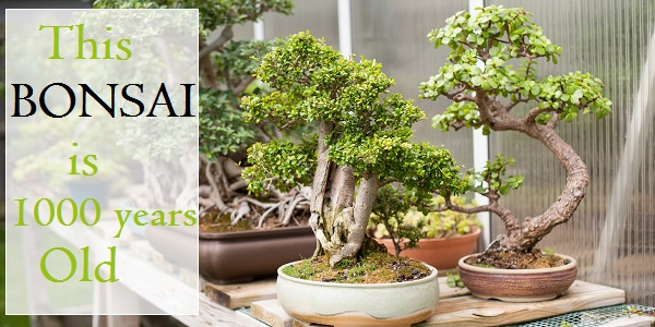 These Are The Oldest Bonsai Trees In The World Natural Living Nurserylive Wikipedia