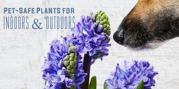 These plants are pets-friendly - Plant Talk - NurseryLive Wikipedia
