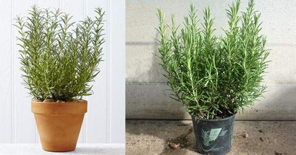 It S Miracle Sniffing Rosemary Can Improve Memory By 75