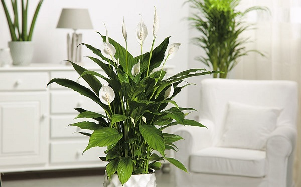 Peace LILY : Best for Small Places - Plant Talk - NurseryLive Wikipedia