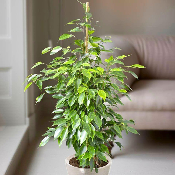 17-air-purifying-plants-weeping-fig