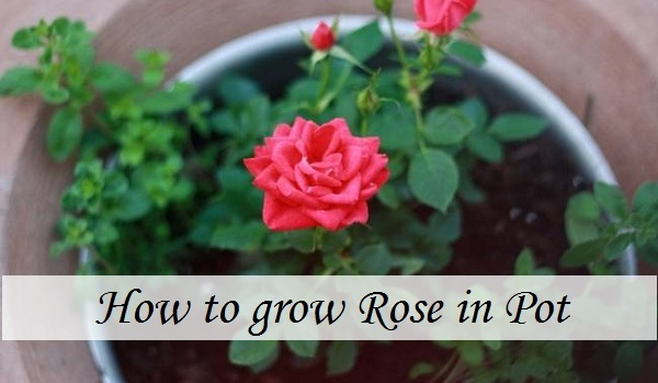 Beginners Tips For Growing Roses In Containers Plant Talk