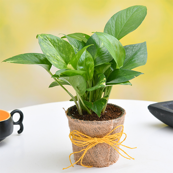 nurserylive-money-plant-with-jute-wrap-for-encouraging-father-1