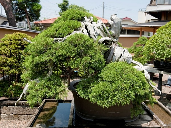 Juniper-Bonsai-Tree-Omiya-Japan