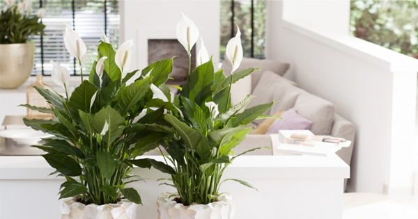 This is why Peace lily is best house plant! - Plant Talk ... Peace Lily House Plant on peace lily family plant, chinese evergreen house plant, droopy peace lily plant, funeral peace lily plant, peace lily potted plant, peace lily plant benefits, classic peace lily plant, black bamboo potted plant, white and green leaves house plant, croton house plant, peace plant brown leaves, dragon plant, holly house plant, zamiifolia house plant, problems with peace lily plant, weeping fig house plant, marginata house plant, artificial bamboo house plant, black gold lily plant, pineapple plant house plant,