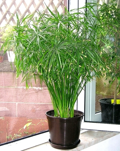 Umbrella Sedge An Easy Indoor Plant That Can 39 T Be Killed