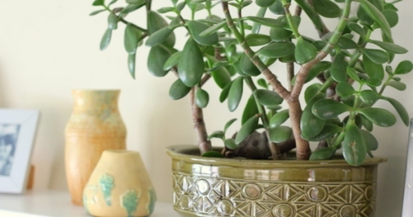 Feng shui says this plant at right place is key to - Lucky indoor plants feng shui ...