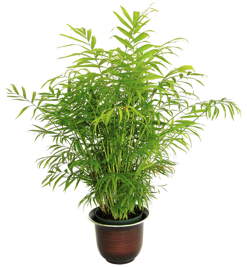 17-air-purifying-plants-bamboo-palm