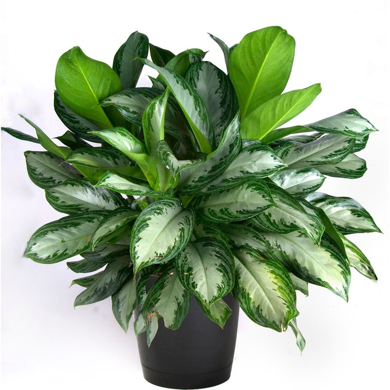 17-air-purifying-plants-chineese-evergreen