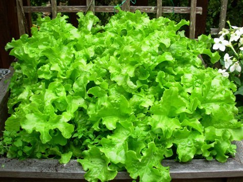 Take some fertile soil  add the required seeds and keep the soil moist so  that you can get lovely salads from the home garden. 15 easiest vegetables to grow in pots for beginners   Garden Talk