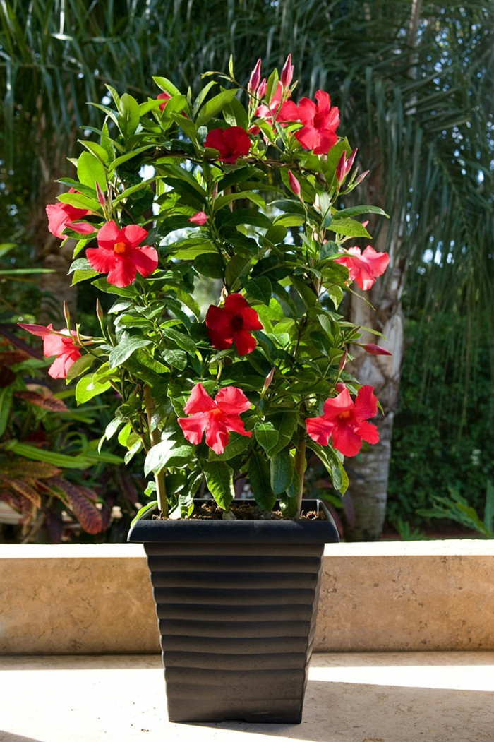 Need A Coloured Profusion To Your Garden Try Low Care Mandevilla