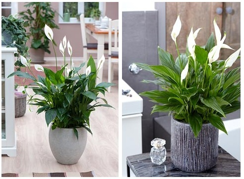 buy peace lily plant top 5 plants to bring goodluck top 5 feng shui plants 5 best office plants to boost your happiness