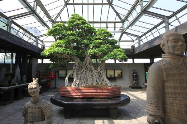 Ficus-Bonsai-Tree-Crespi-Italy