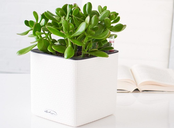 jade-plant-cube-whit