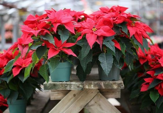 Why Poinsettias Is Gifted In Christmas Plant Talk Nurserylive
