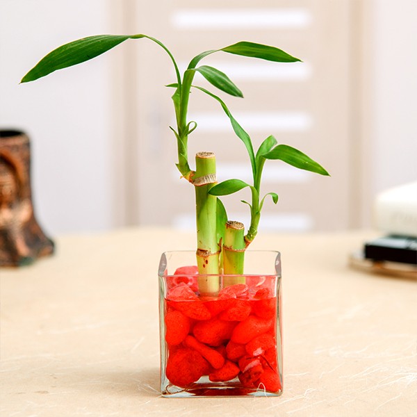 nurserylive-2-lucky-bamboo-stalk-a-symbol-of-love-gift-plant
