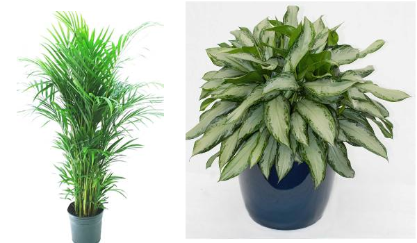 plants for living room. Browse  Buy set of 5 Best living room plant Pots now These plants are best for Living Room Top 10 Plants