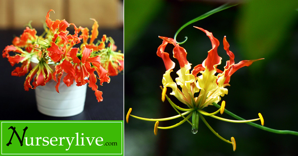 Glorissa Flame Lily : Lily that adds 'full of glory' to your home garden -  Plant Talk - NurseryLive Wikipedia