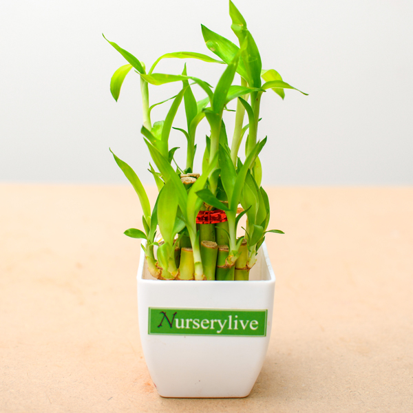 lucky-bamboo-gift-plant
