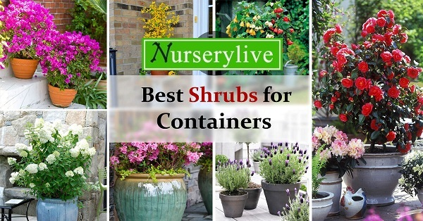 Successfully Grow These Shrubs In Containers Top 10 Plants