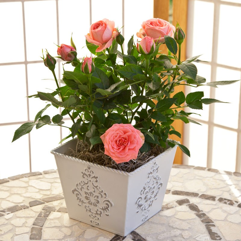 Rose-Pink-gift-plant