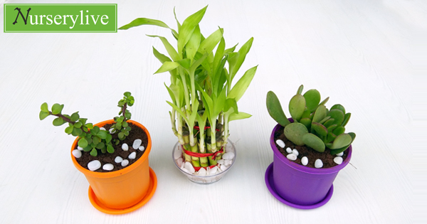 nurserylive-best-3-table-top-office-desk-plants-to-bring-prosperity