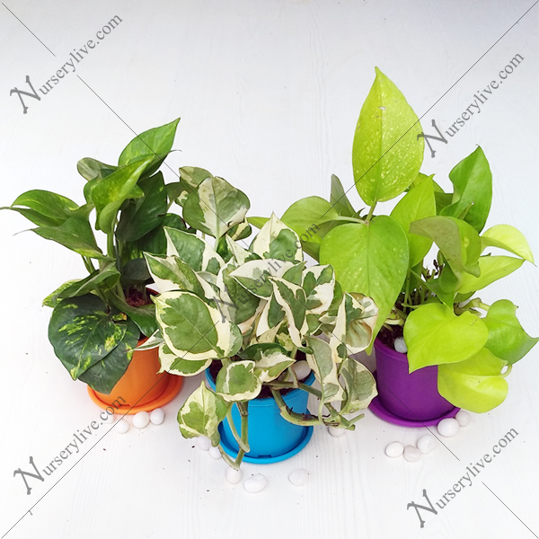 nurserylive-mini-money-plant-garden